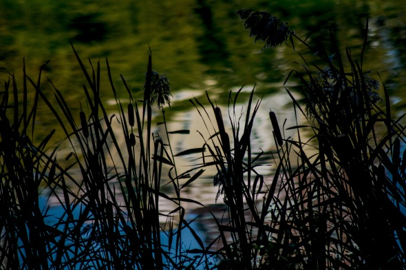 Morning Cattails-1120